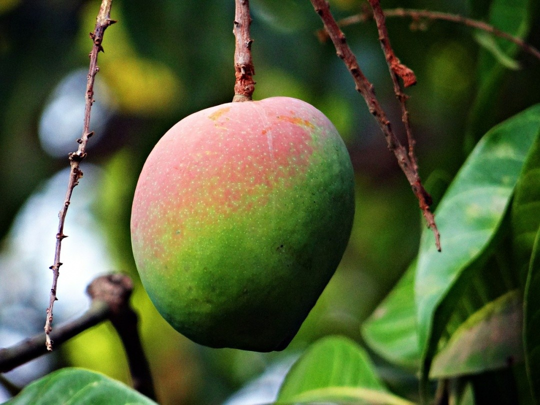 UPCOMING EVENT: OCTOFROST SPEAKING AT 18TH NATIONAL MANGO CONGRESS 2016 IN PHILIPPINES